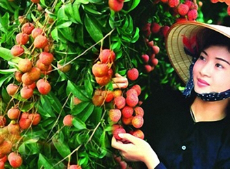 Website vải thiều Thanh Hà Hải Dương
